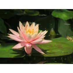 Nymphaea 'Blushing Bride'