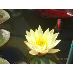 copy of Nymphaea 'Joey...