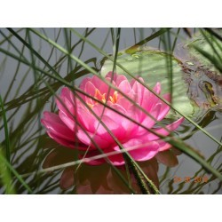 Nymphaea 'Perry's Fire Opal'