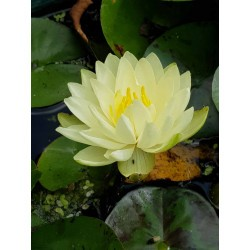copy of Nymphaea 'Almost...
