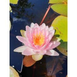 Nymphaea 'Mme Wilfron Gonnere'