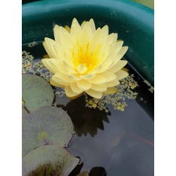 Nymphaea 'Perry's Double...