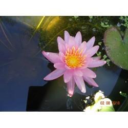Nymphaea 'Pink Dawn'