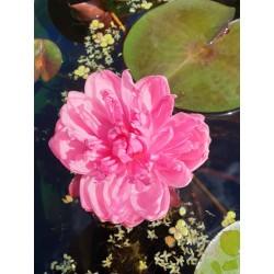 Nymphaea 'Pink pompom'