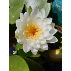 Nymphaea 'Sweet Scent White'