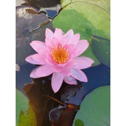 Nymphaea 'Hot Punch'
