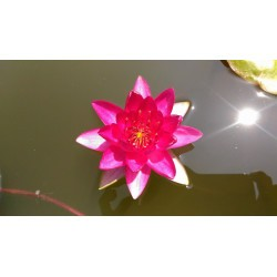 Nymphaea 'Lucky red'