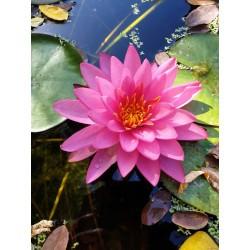 Nymphaea 'pathumma pink'