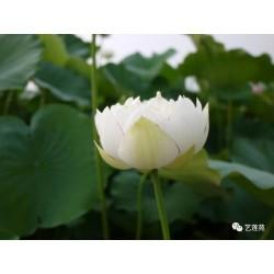 Nelumbo 'Xiao Sa Jin'