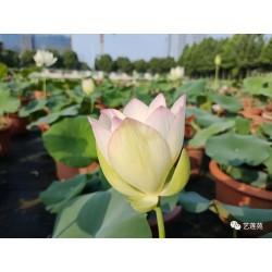 Nelumbo 'Yixian Lian'