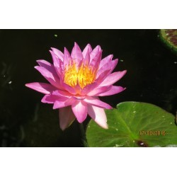 Nymphaea 'Siam Marble'