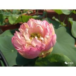 Nelumbo 'Chinese Beauty Jing'