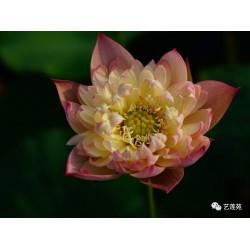 Nelumbo 'Color of Brocade'