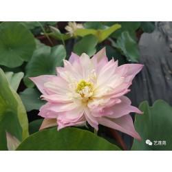 Nelumbo 'Lanceolate Pink'