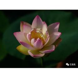 copy of Nelumbo 'Ai Jiang Nan'