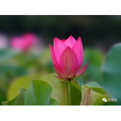 copy of Nelumbo 'Ai Jiang Nan'
