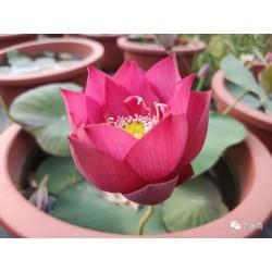 Nelumbo 'Gorgeous Rosy'