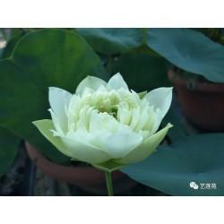 Nelumbo 'Qinhuai White Jade'