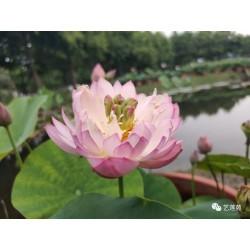 Nelumbo 'Little Lotus Seat 13'