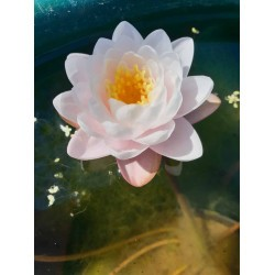 Nymphaea 'Bangkok Sakura'