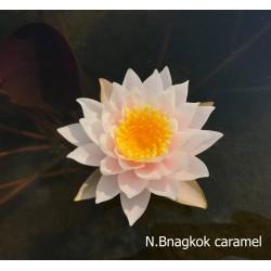 Nymphaea 'Bangkok Caramel'