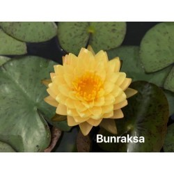 Nymphaea 'Bunraksa'