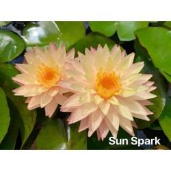 Nymphaea 'Sun Spark'
