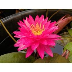 Nymphaea 'Bangkok Miracle'