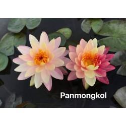 Nymphaea 'Pan Mongkol'